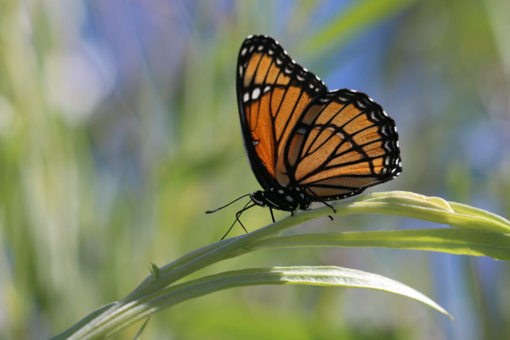 Orange and black butterfly on a green leaf.