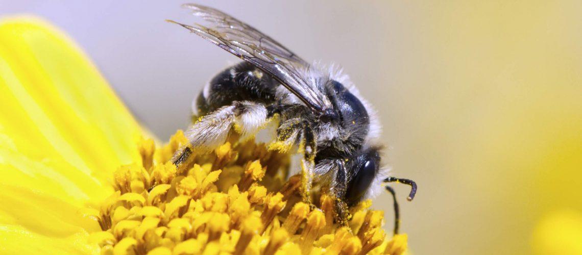 Andrena_sunflower